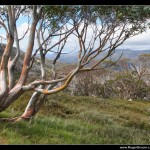 Eucalyptus in the Snowy Mountains at Thredbo