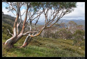 Eucalyptus in the Snowy Mountains at Thredbo