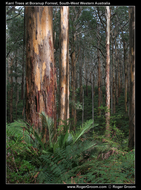 Boranup Forest Karri Tree with Sunlight