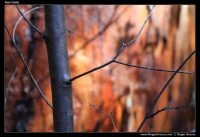 Golden Karri Tree bark