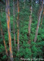 Karri Forest at Bicentenial Tree (portrait)