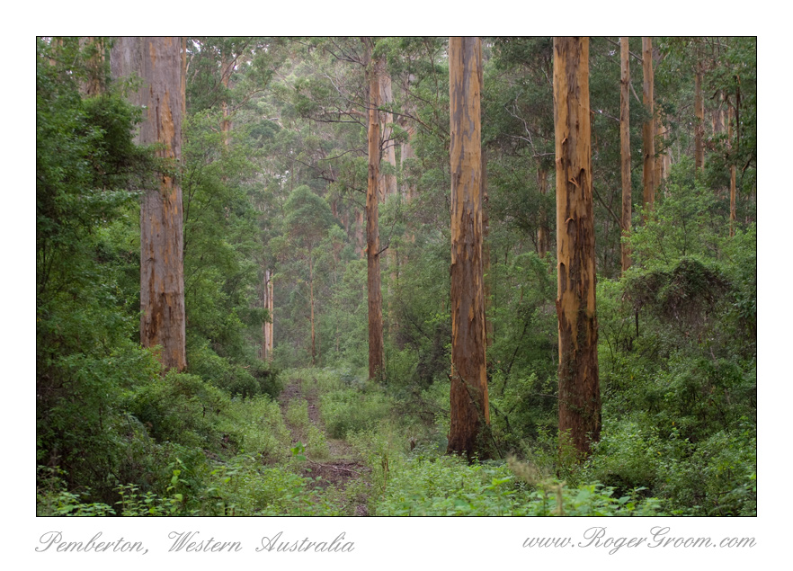 Overgrown Karri Forest Track with Mist