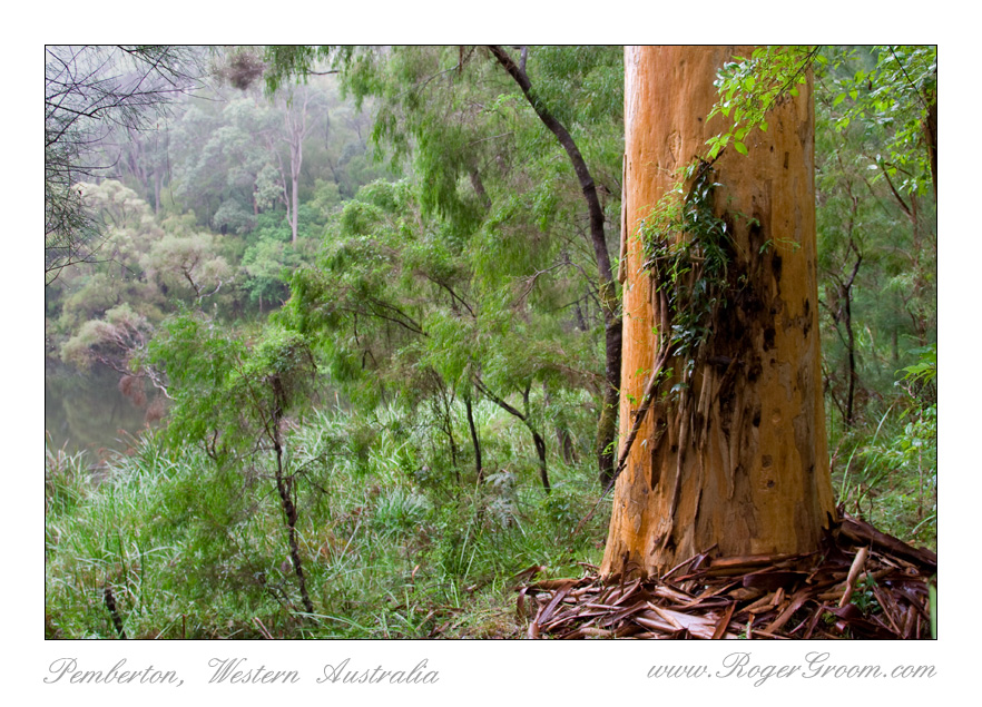 Warren River Karri Tree with Creeper