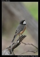 Photograph of a Rufous Whilster