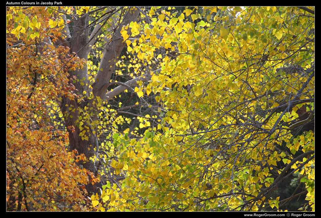 Photograph of Autumn Colours in Jacoby Park by Roger Groom