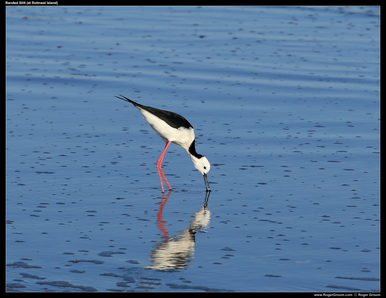 A Banded Stilt on Rottnest Island (here foraging in an inland salt lake).