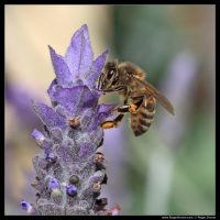 Photograph of a Bee on a Lavender flower