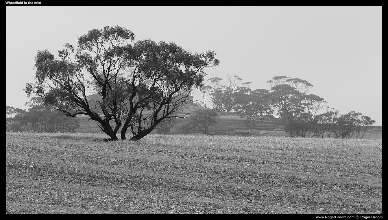 Wheat field in the mist (Goomalling, Western Australia)