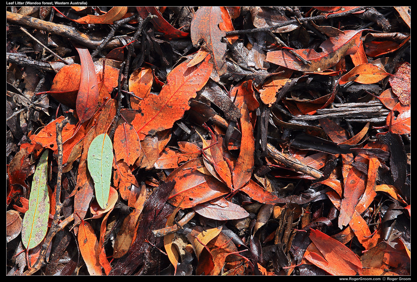 Wet leaf litter in the Wandoo forest around Mt Observation. Typical of this region of the Wheatbelt in Western Australia.