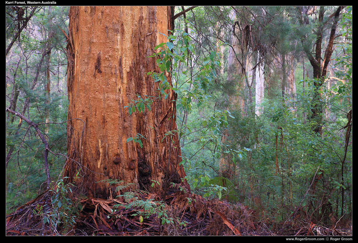Karri Forest - South-west Western Australia (Pemberton).