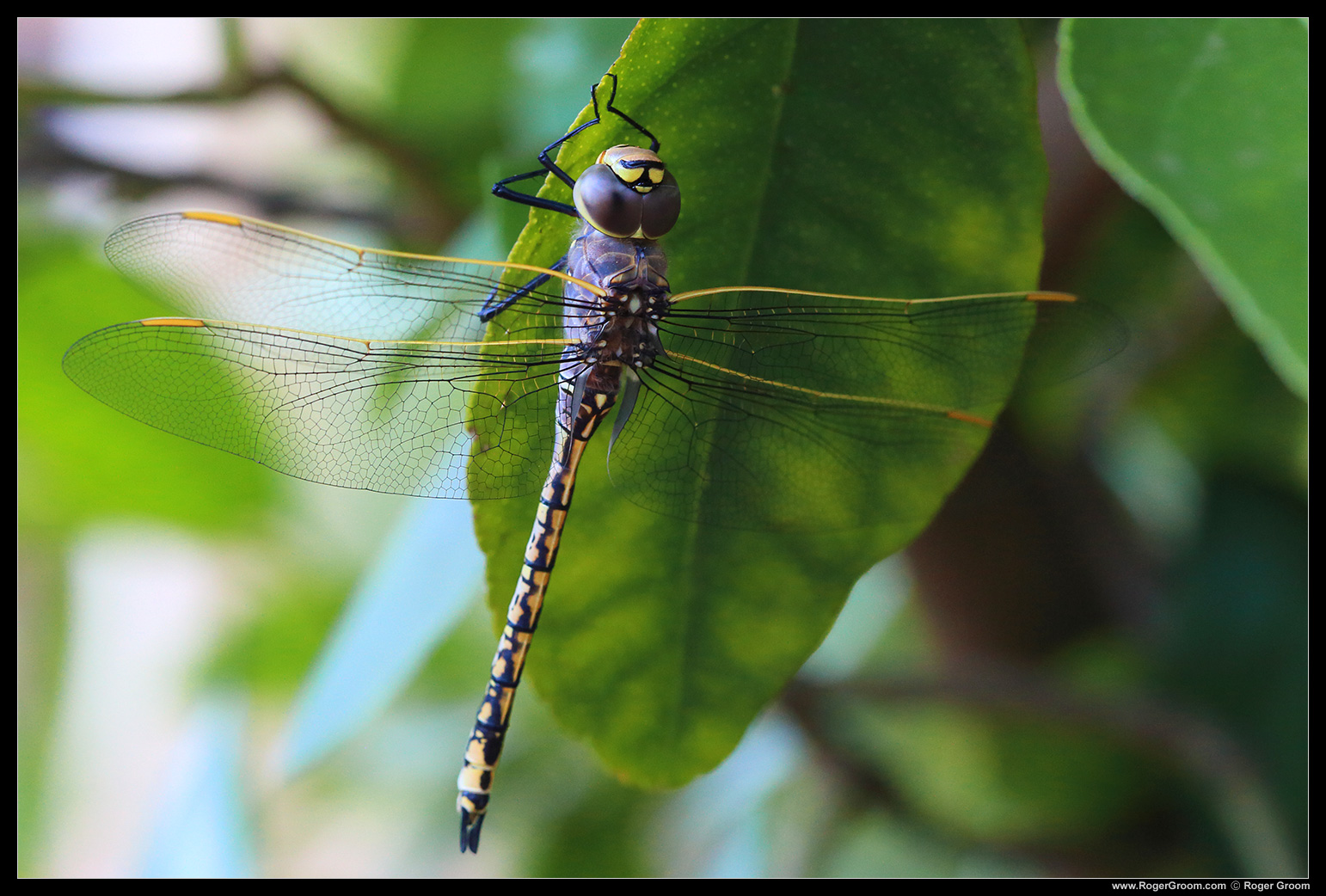 Dragon Fly on lime tree